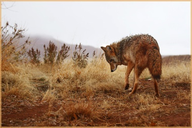 coyote_in_fog